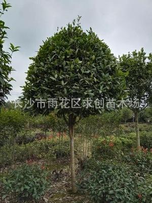 湖南八月桂花树 10公分八月桂价格 自产自销