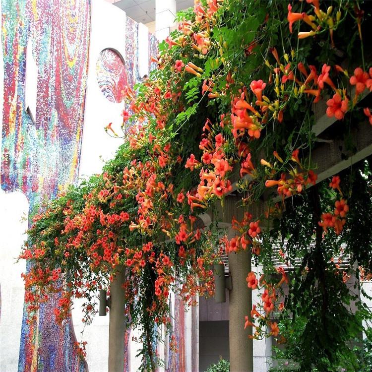 美国凌霄花 炮仗花美化庭院攀援植物生长快攀爬力强围栏花架专用