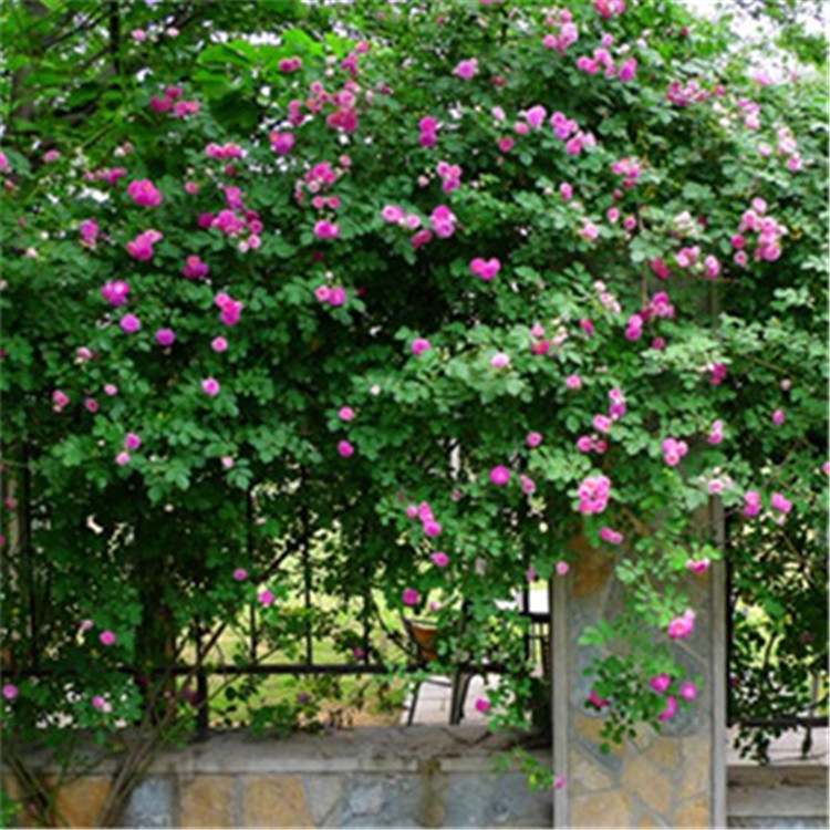 批发 爬藤植物 蔷薇 红花蔷薇 无刺蔷薇 爬墙蔷薇 爬墙梅
