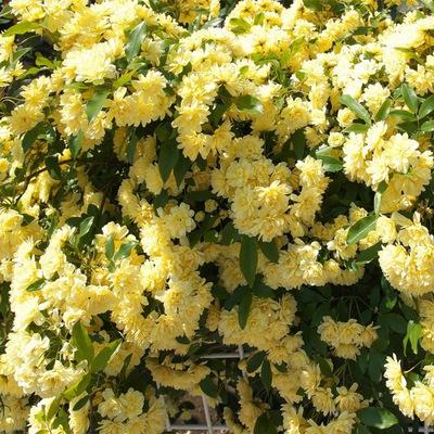 黄木香花苗爬藤植物阳台庭院花园四季浓香型开花盆栽黄白红木香