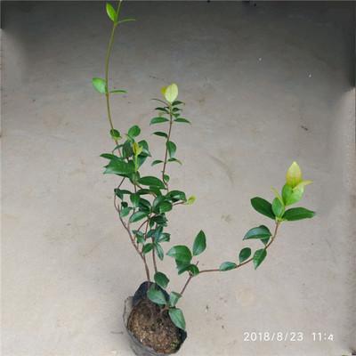 风车茉莉老桩爬藤植物四季开花 花苗阳台藤蔓花卉