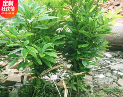基地批发金丝楠木树苗珍稀名贵苗木绿植小叶桢楠容器袋苗带土发货