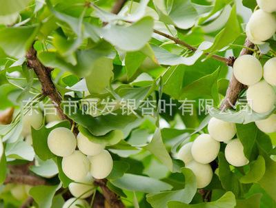 厂家供应银杏树绿化银杏树苗 行道树银杏树成活率高