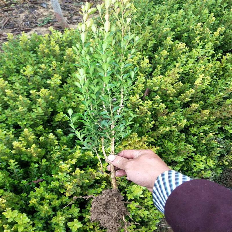 工程绿化景观园艺 瓜子黄杨苗 地栽苗 小叶黄杨 品种 齐全