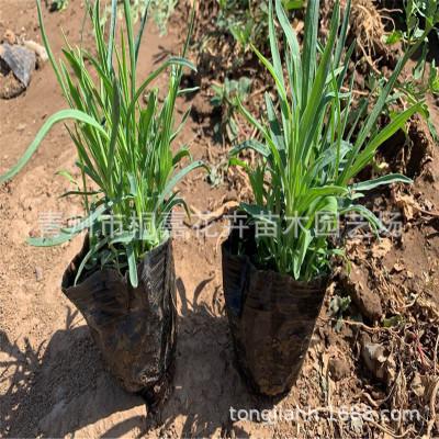 基地供应优质多芽地被石竹常夏石竹彩虹石竹营养杯苗花海绿化专用