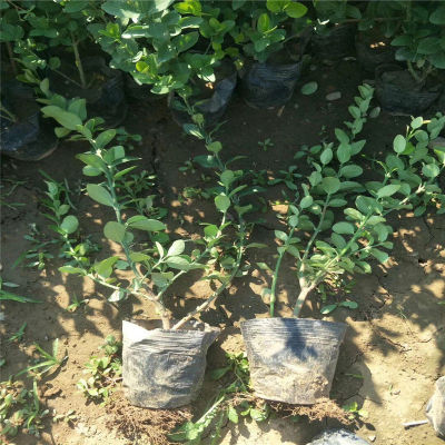 基地供应绿色灌木卫矛 批发园林绿化植物卫矛球价格