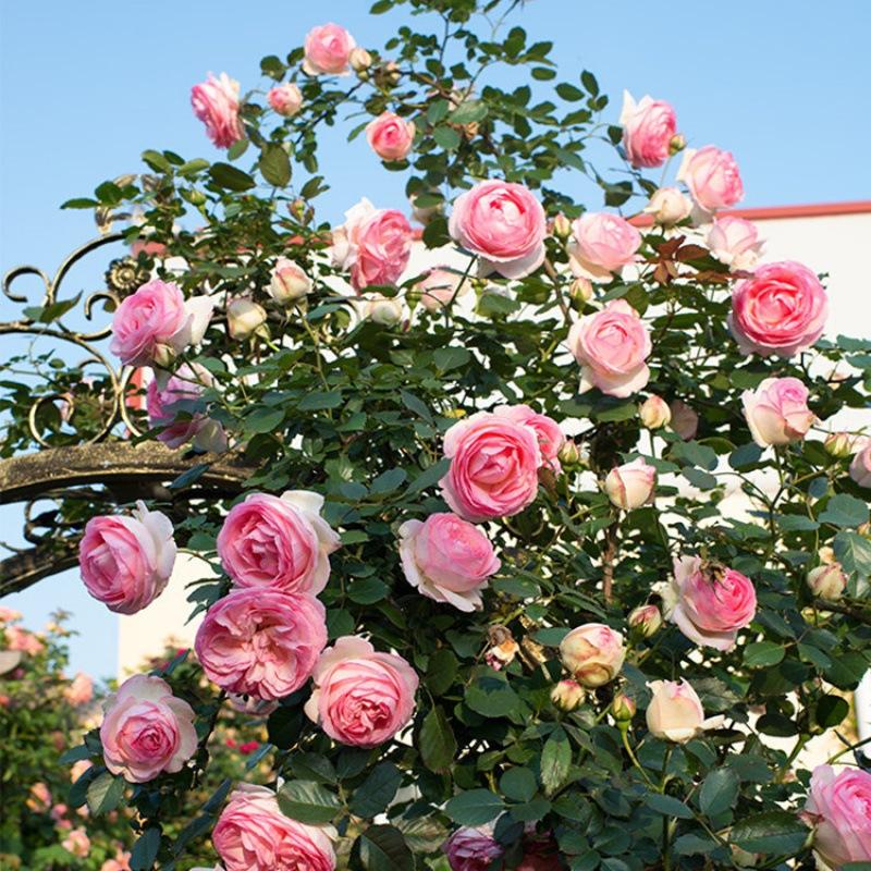 龙沙宝石月季花苗藤本月季龙沙宝石爬藤月季庭院植物欧月蔷薇花苗