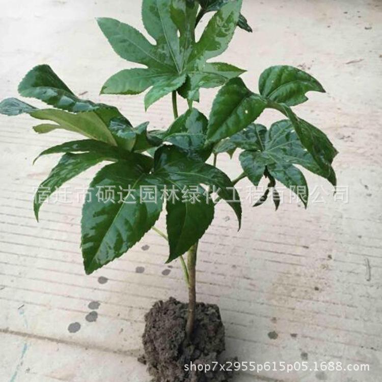 八角金盘小苗批发工程绿化苗木室内桌面观叶植物八角金盘盆栽