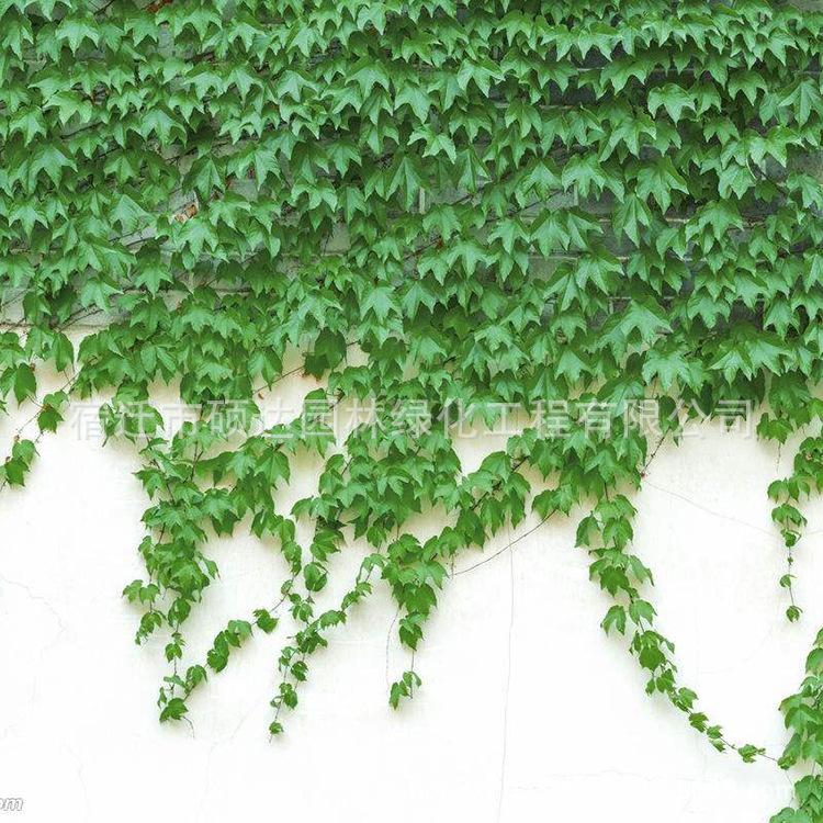 爬山虎苗批发攀援植物爬墙虎苗三叶五叶地 庭院藤本爬藤爬山虎苗
