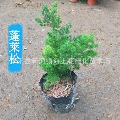 室内绿植蓬莱松盆栽四季常青净化空气蓬莱松苗阳台绿植包成活包邮