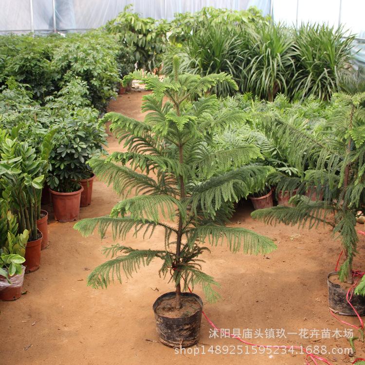 南洋杉盆栽 室内观赏绿植盆栽南阳杉 四季常青观赏盆栽绿植