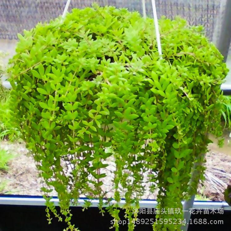 批发垂盆草 水培花卉 绿色植物盆栽花卉 垂盆草懒人盆栽质量好
