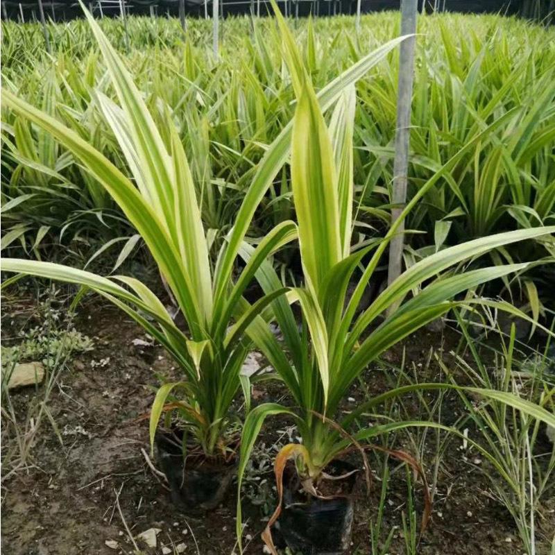 花叶露兜基地直销 又名斑叶露兜树 庭院绿化或盆栽的植物