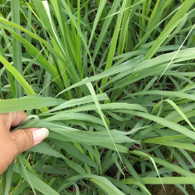 香茅草 直销 观赏草 高温多湿盆栽地被