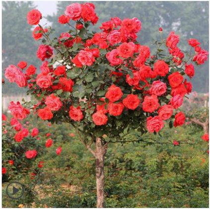 嫁接树状月季树桩月季树苗老桩室内盆栽庭院阳台大花浓香四季开花