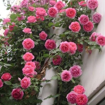 阳台庭院花卉盆栽 多花蔷薇花苗 玫瑰当年开花爬墙藤蔓植物