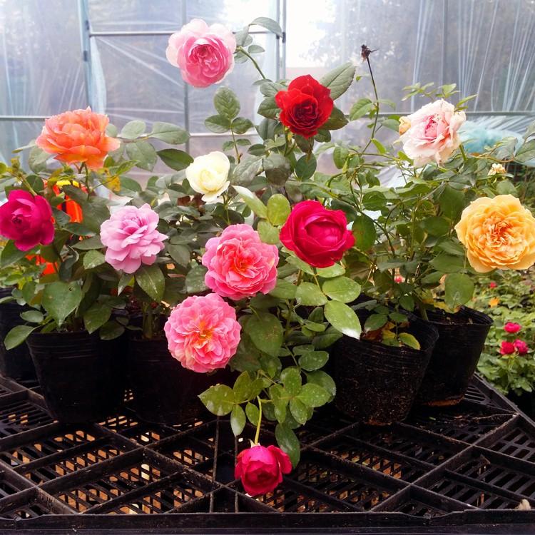 欧月花苗藤本月季庭院阳台盆栽花卉多花蔷薇花苗攀援花卉四季开花