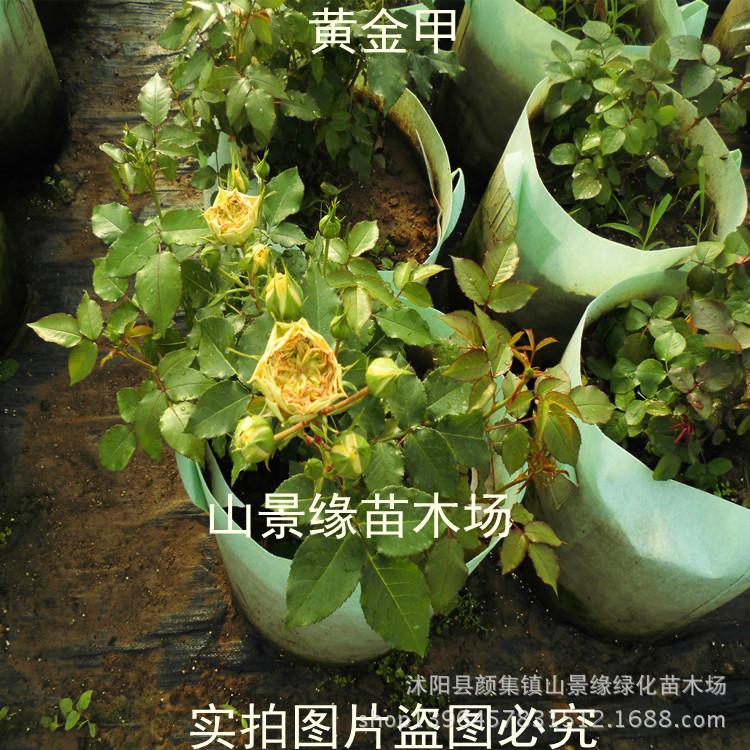 藤本月季苗 基地直销 黄金甲 大花 攀援植物 盆栽爬藤月季