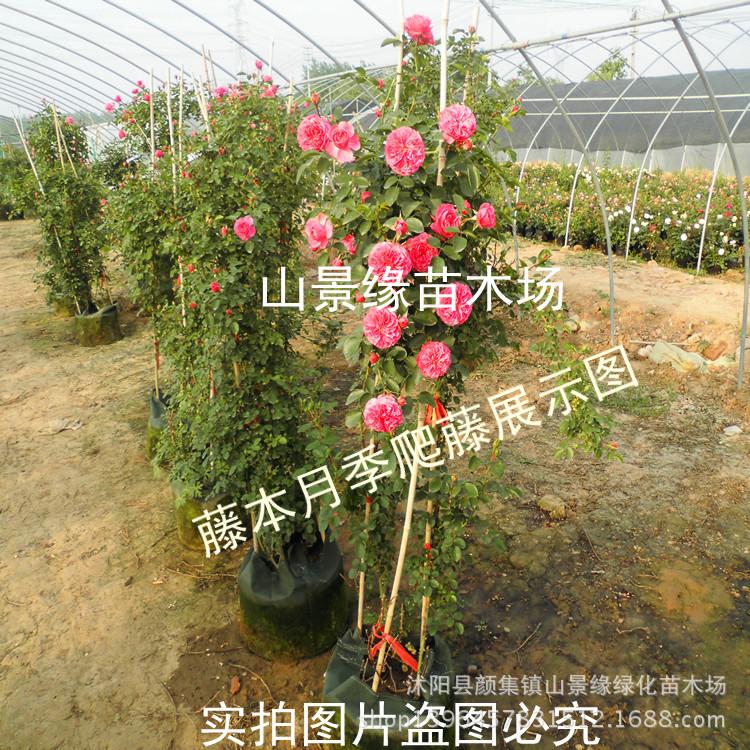 藤本月季苗 基地直销 粉达 大花 攀援植物 盆栽爬藤月季