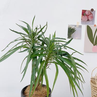 金叶连翘小苗 盆栽湿地绿化多分枝连翘苗木 基地培种金叶连翘
