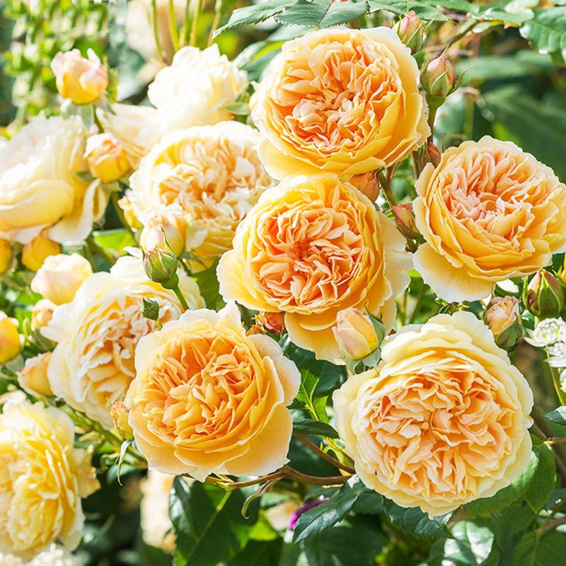 耐寒精品欧月小苗 爬藤植物 玫瑰蔷薇藤本花苗月季四季开花盆栽花