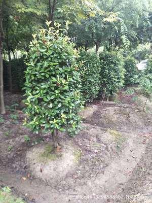 基地直销 精品红叶石楠柱 各种规格 量大优惠 工程緑化
