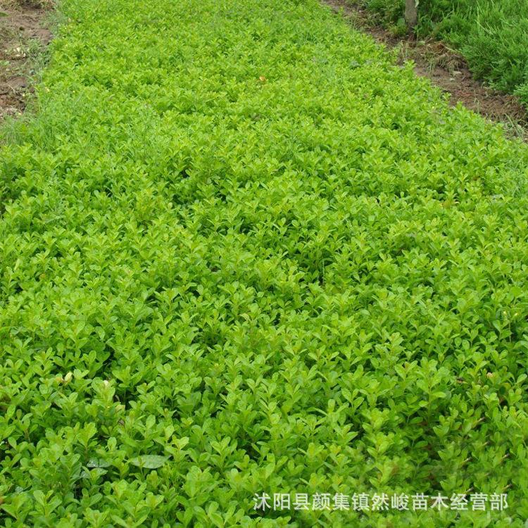 基地批发小叶黄杨 瓜子黄杨 黄杨苗 绿篱绿化园林工程苗 多种规格