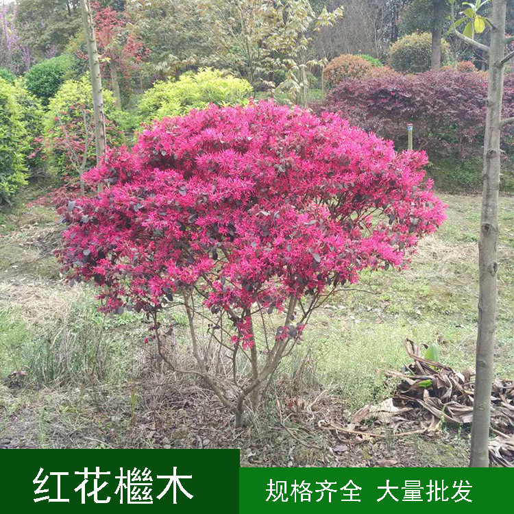 红继木球 红花檵木球 红继木笼子 园林绿化庭院绿植工程苗木花木