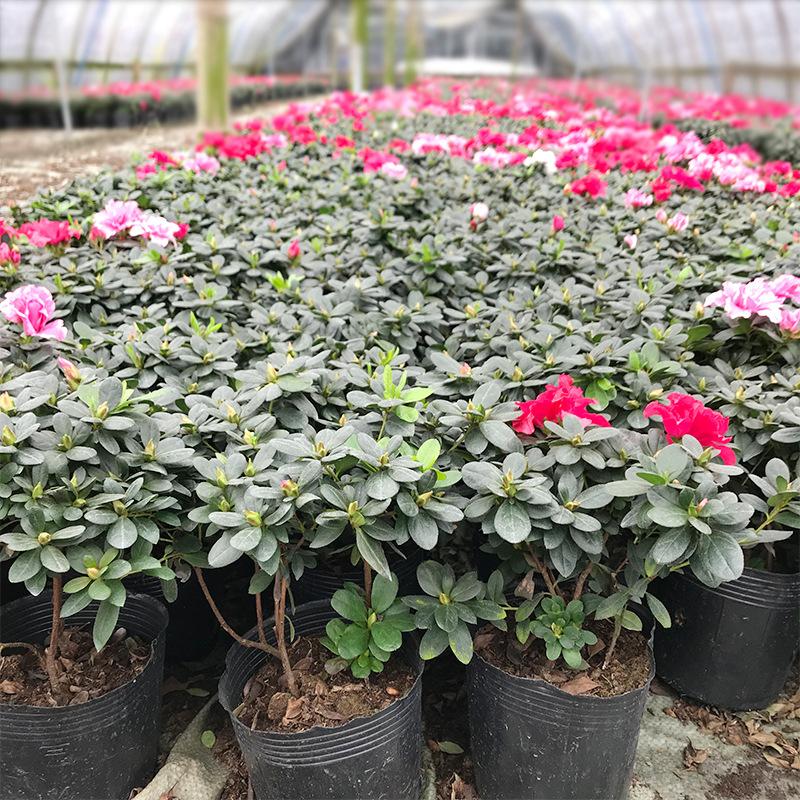西洋鹃 比利时四季杜鹃 工程毛杜鹃花 带花苞开花 花卉木 160#