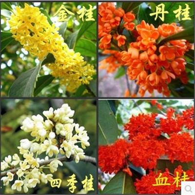 桂花树苗四季桂月月桂花盆栽植物室内阳台黄金桂天香台阁带花浓香