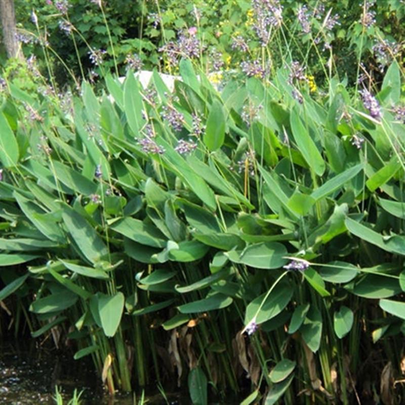 基地大量出售再力花花卉水景绿化水生植物