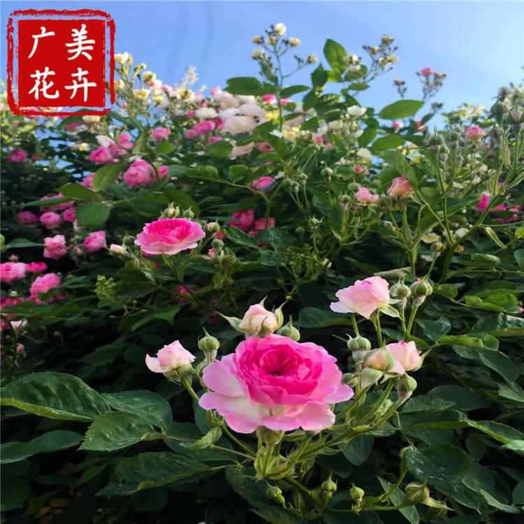 北京多分枝蔷薇小苗批发 基地种植三季大花蔷薇 蔷薇月季1米打底