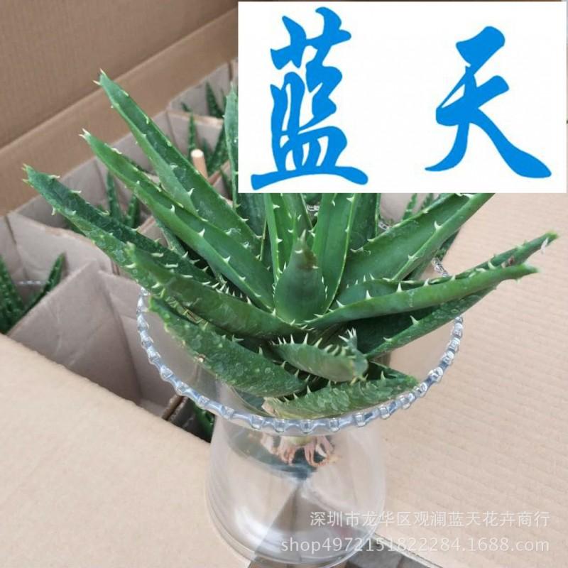 基地直销 盆栽室内绿化植物 植物小盆栽 水培不夜城