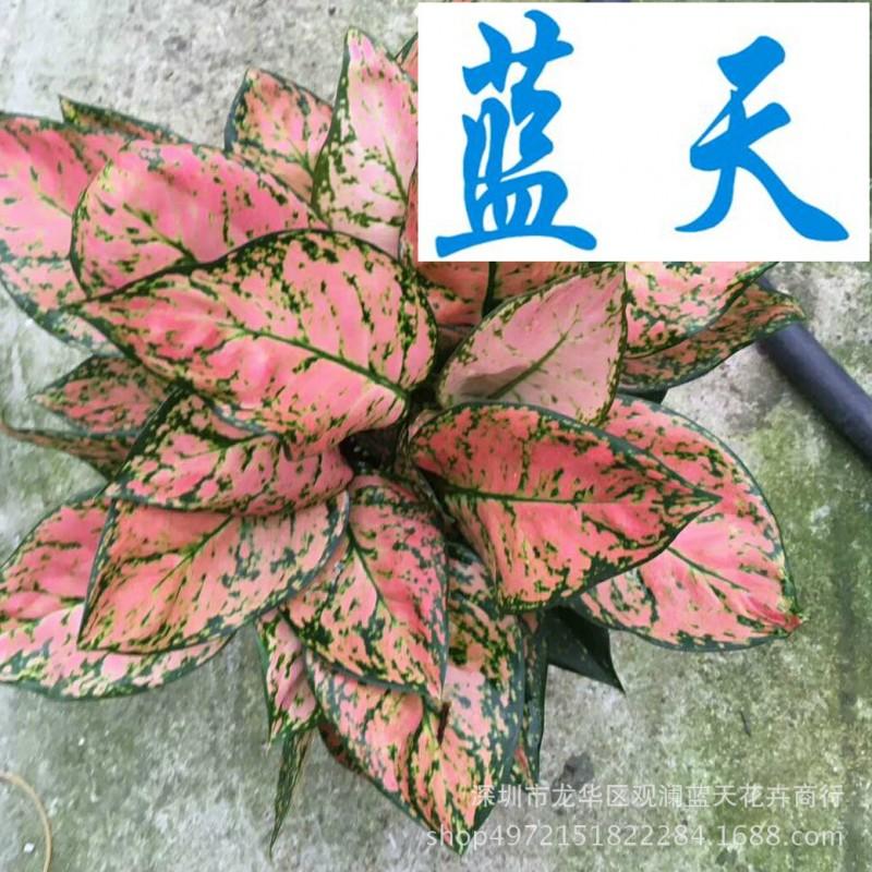 基地直销 净化空气 居家绿植 盆栽花卉 吉祥 广州花卉基地