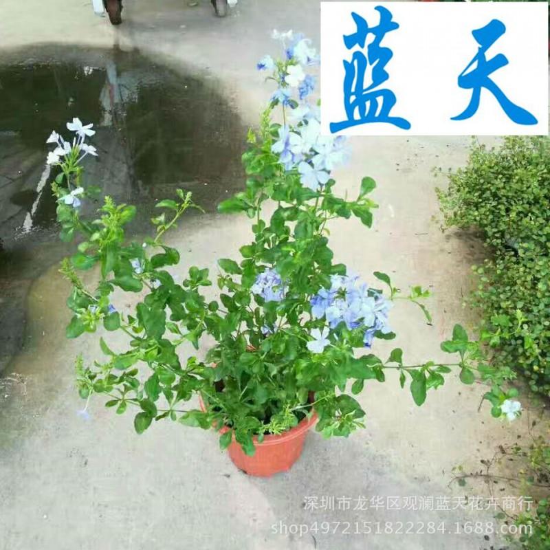 基地直销 室外盆栽 蓝雪花 净化空气 花色优美 量大从优