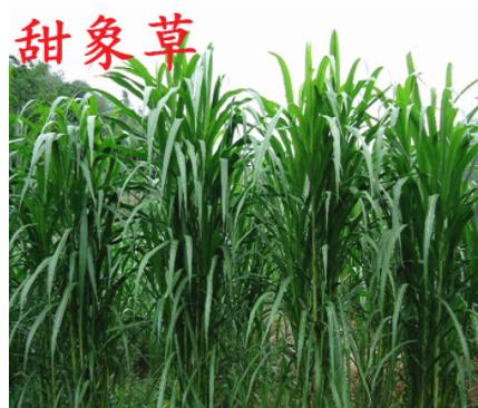 高产牧草种子甜象草 多年生牛羊牧草台湾甜象草优质草种