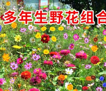 草花子种野花组合种四季开花波斯菊百日草大花金鸡菊孔雀草太阳花