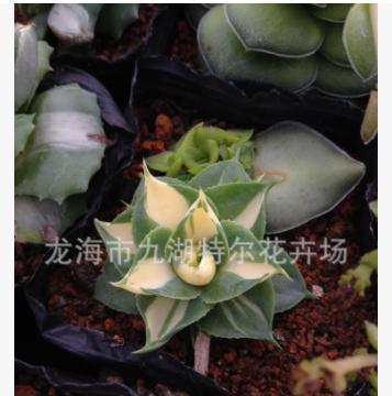 百合科 龙舌兰 黄中斑 大棚直售绿植多肉盆栽