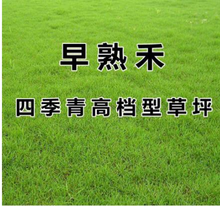 早熟禾草坪种子 进口矮生四季青草籽 耐践踏庭院耐寒不修剪地毯草