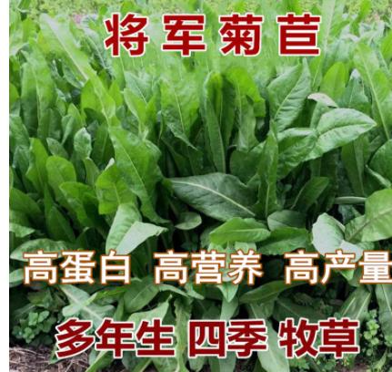 批发大叶将军菊苣草种子优质牧草种子 耐寒耐旱 鸡鸭鹅猪牛羊喜食