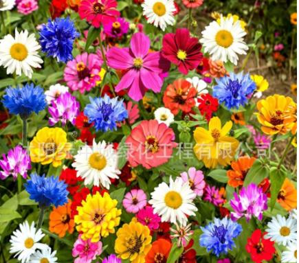 野花组合种子四季开花波斯菊种子格桑花种籽子易活庭院室外花种子