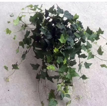 【基地直供】观叶植物小盆栽净化空气办公布置(A110)青叶常春藤