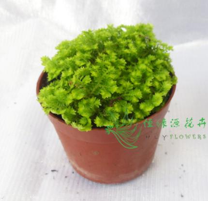 【广州基地直供】蕨类植物苔藓背景植物微景观应用(A80)金丝雀蕨