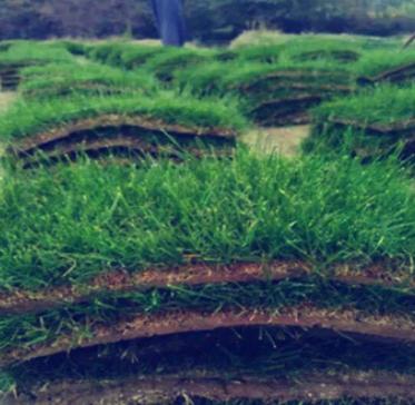 草皮 带土 真草坪草皮庭院花园绿化四季青种子马尼拉果岭草带泥土