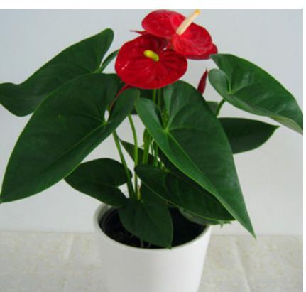 供应红掌盆栽 中小型观花植物 水培办公室桌面绿植盆栽