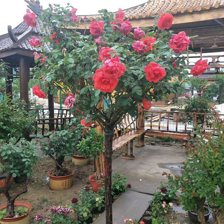 树状月季花批发树形月季品种月季高档树桩当年开花庭院盆栽绿化