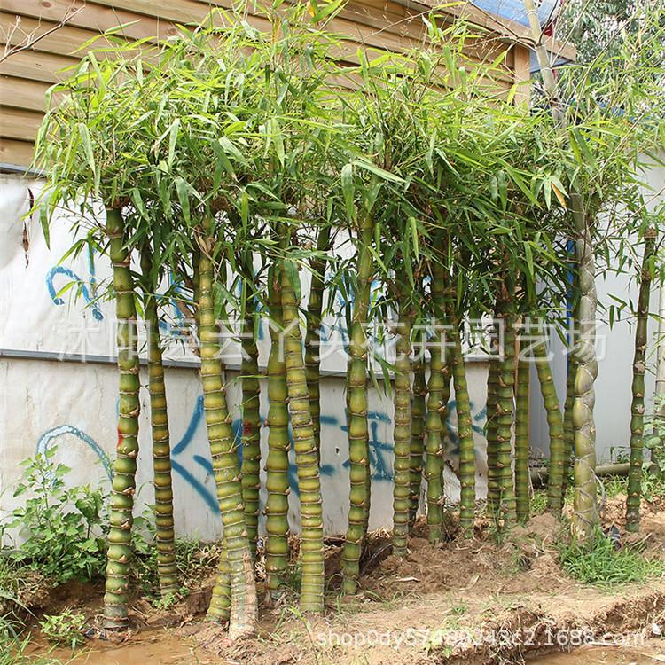 佛肚竹苗批发 客厅大型盆栽庭院工程绿化植绿植四季常青罗汉竹