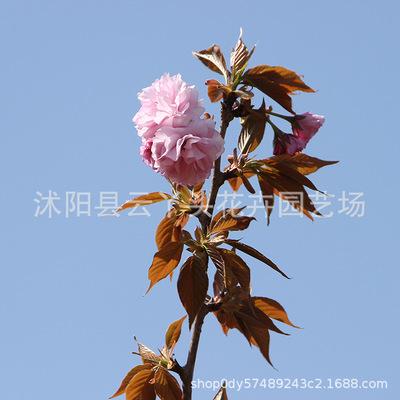现挖现卖樱花苗 园林观赏工程绿化樱花树苗盆栽嫁接日本樱花树苗