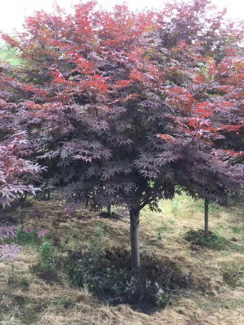 产地直批红枫树苗庭院美化红枫