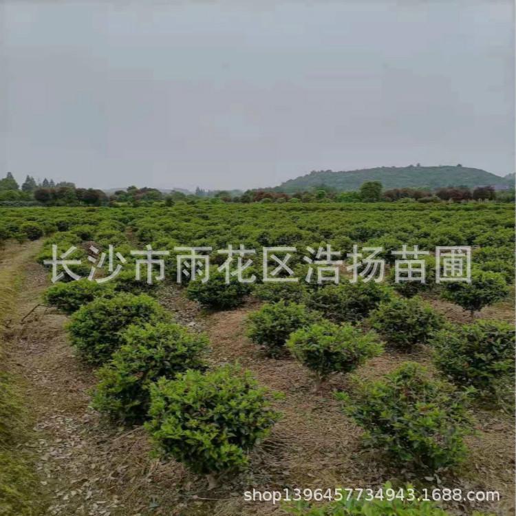 绿植茶梅树苗盆栽 圆林绿化庭院灌木茶梅球 绿化植物茶梅小苗批发